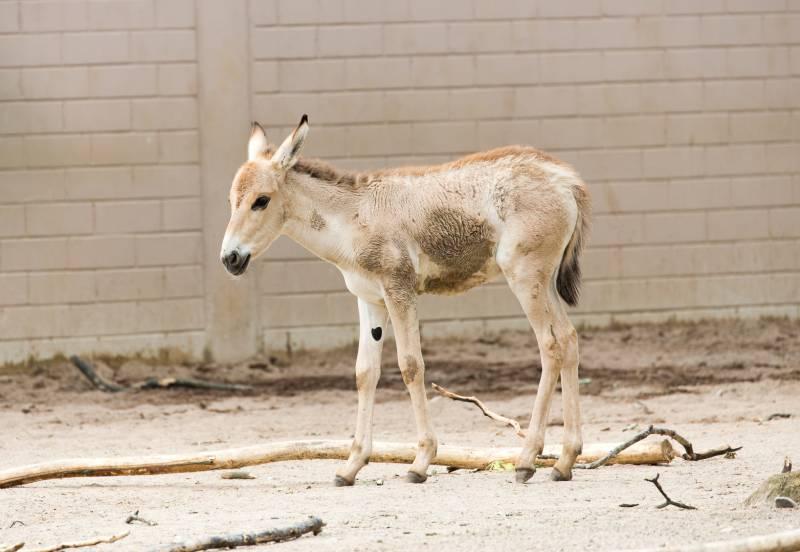 Asiatische Wildesel: Zwei Onager-Fohlen im Kölner Zoo geboren Quelle: AG Zoologischer Garten Köln