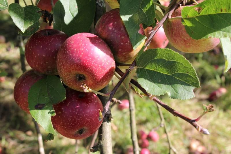 Alte Apfelsorten sind wieder im Kommen Große Ernteaktion mit neuen Obstbaumwarten