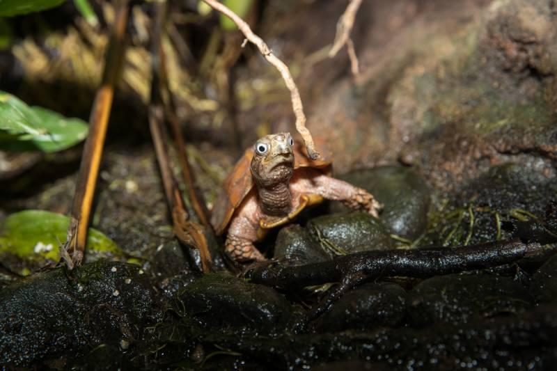 Wieder Nachwuchs bei der gefährdeten Zackenerdschildkröte im Terrarium des Kölner Zoos Quelle: AG Zoologischer Garten Köln