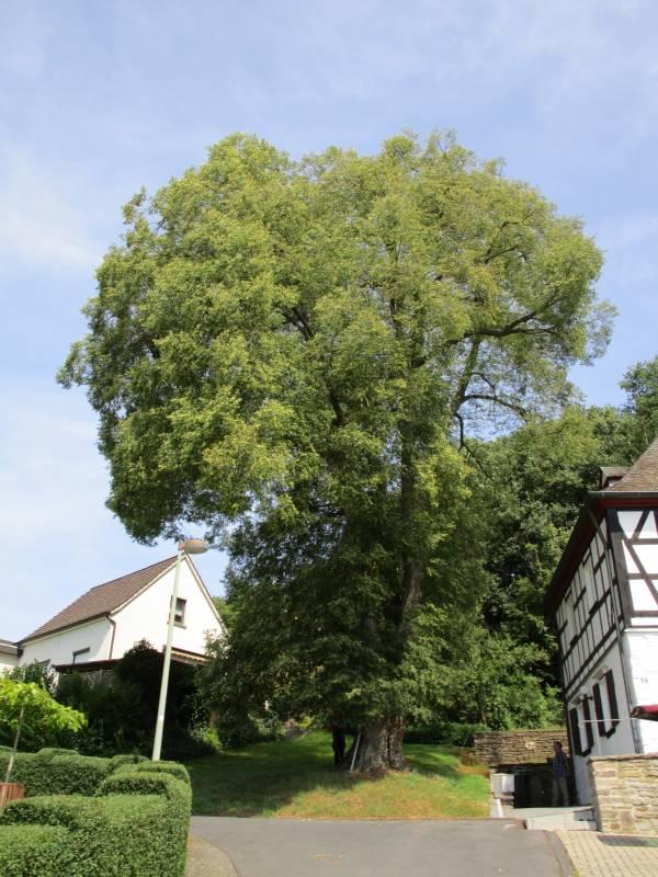 Fällung einer 260 Jahre alten Naturdenkmal-Linde in Windeck-Rosbach Quelle: Rhein-Sieg-Kreis