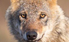 62 Wolf_JBorrisNABU