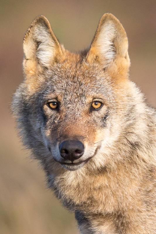 Notfallset bei Wolfsriss: Kreis verleiht kostenlos Schutznetze für Nutztierhaltung