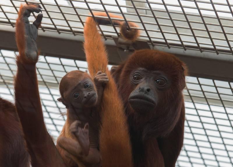 Verstärkung für die Affenbande im Kölner Zoo: Nachwuchs bei den Roten Brüllaffen Quelle: AG Zoologischer Garten Köln
