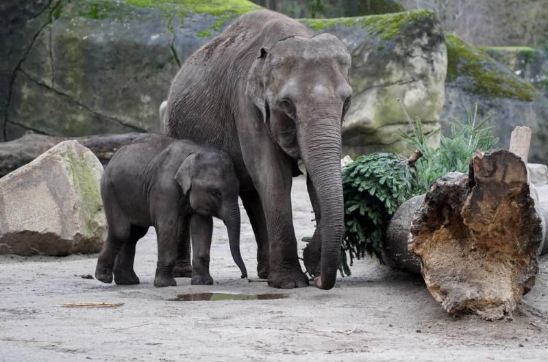 Oh Tannenbaum: Grüne Leckerbissen für die Elefanten im Kölner Zoo Quelle: AG Zoologischer Garten Köln