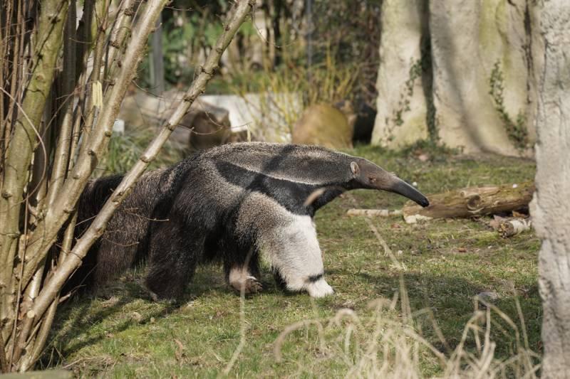 """Aus São Paulo in die Rheinmetropole:  Große Ameisenbärin """"Jamile"""" neu im Kölner Zoo Quelle: AG Zoologischer Garten Köln"""