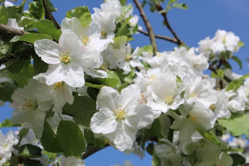 Obstblütenwanderung auf dem Streuobstweg in Hennef Quelle: Rhein-Sieg-Kreis