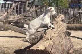 Tierisch viel Nachwuchs auf dem Clemenshof im Kölner Zoo