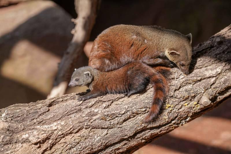 Wuseliger Ringelschwanzmungo geboren: Quelle: AG Zoologischer Garten Köln