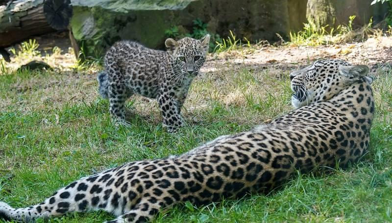 Kleine Persische Leoparden im Kölner Zoo in der Außenanlage Quelle: Kölner Zoo