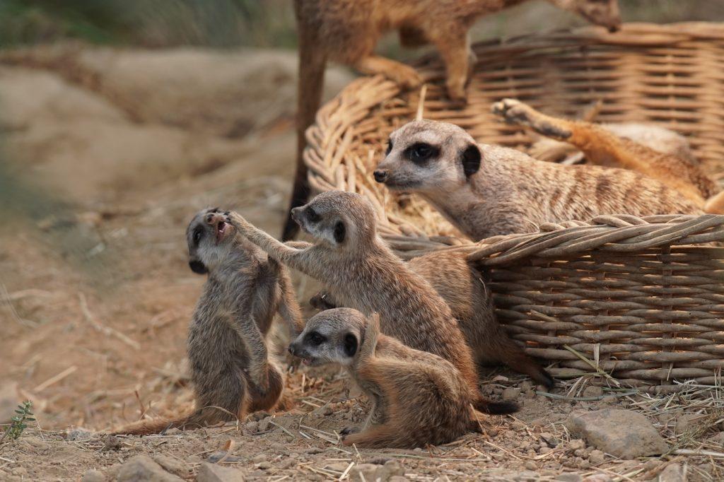 Vierfacher Nachwuchs bei den Erdmännchen im Kölner Zoo
