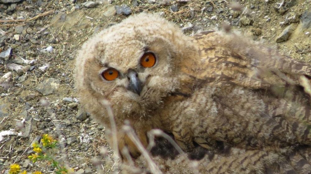 NABU informiert über junge Nachtvögel Äst- und Nestlinge sitzen lassen!