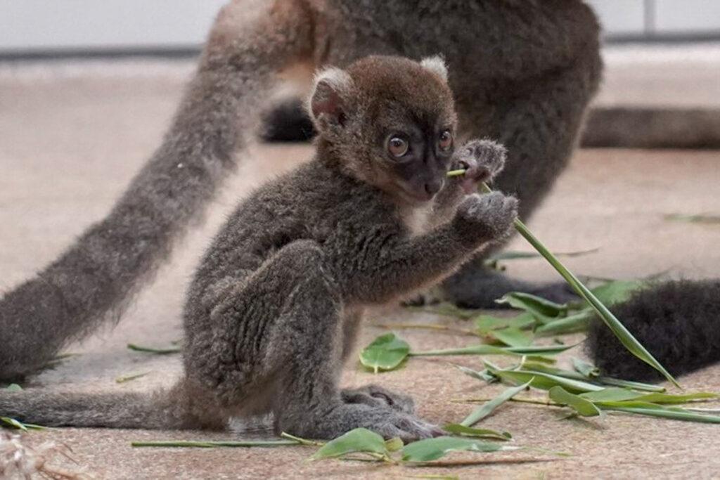 Großer Bambuslemur im Kölner Zoo geboren