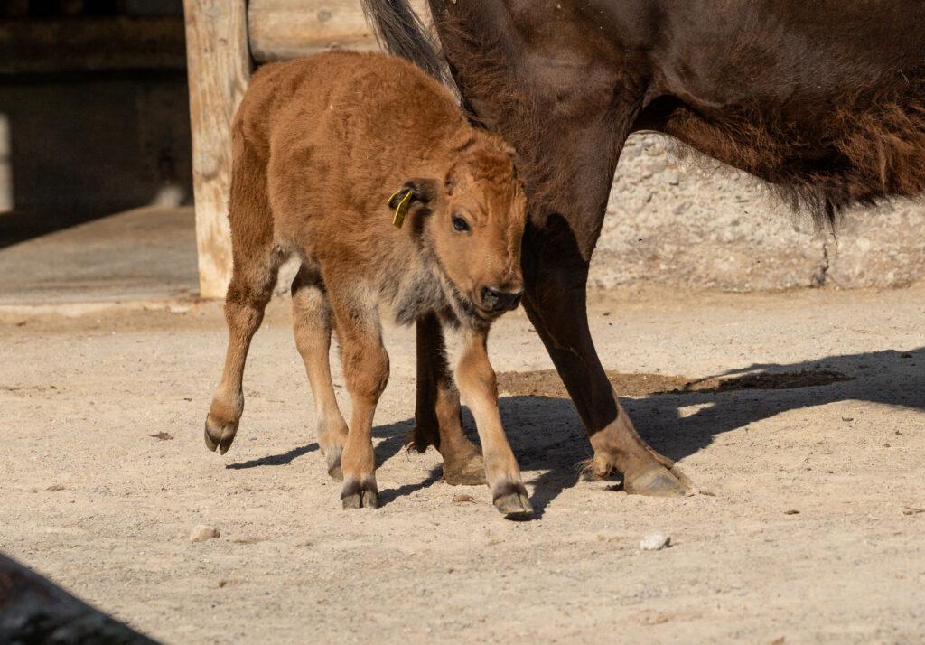 """Bison-Bulle """"Winni"""" im Kölner Zoo geboren"""
