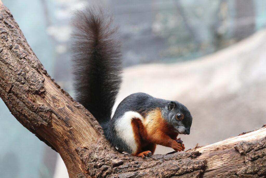 Prevost-Hörnchen im Kölner Zoo Tropenhaus geboren