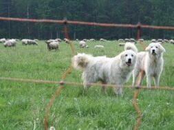 2020_11_19-db-Herdenschutzhunde -nabu-anette-wolff