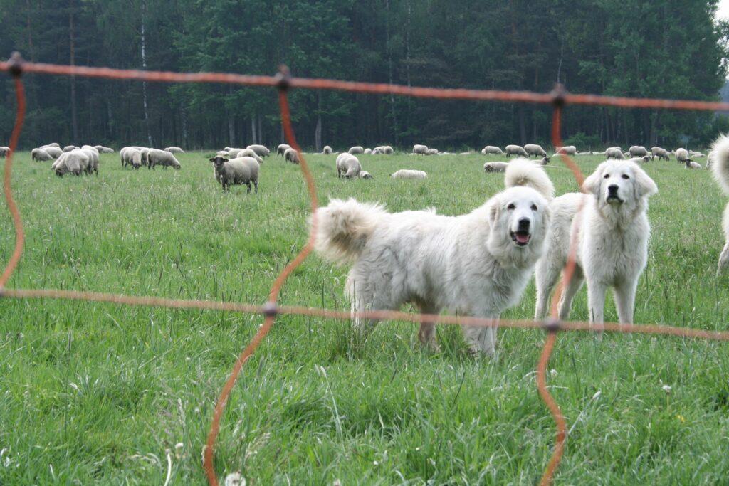 Erste Herdenschutzhunde im Einsatz