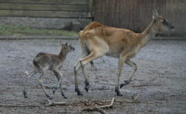 Weißnackenmoorantilope Kölner Zoo 7.4.2021 ASliwa IMG_1308