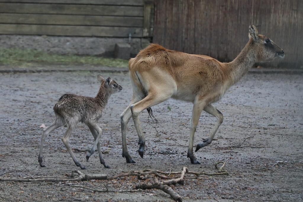 Jungtier bei den seltenen Weißnacken-Moorantilopen