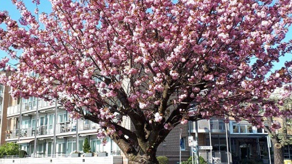 Sakura in Siegburg