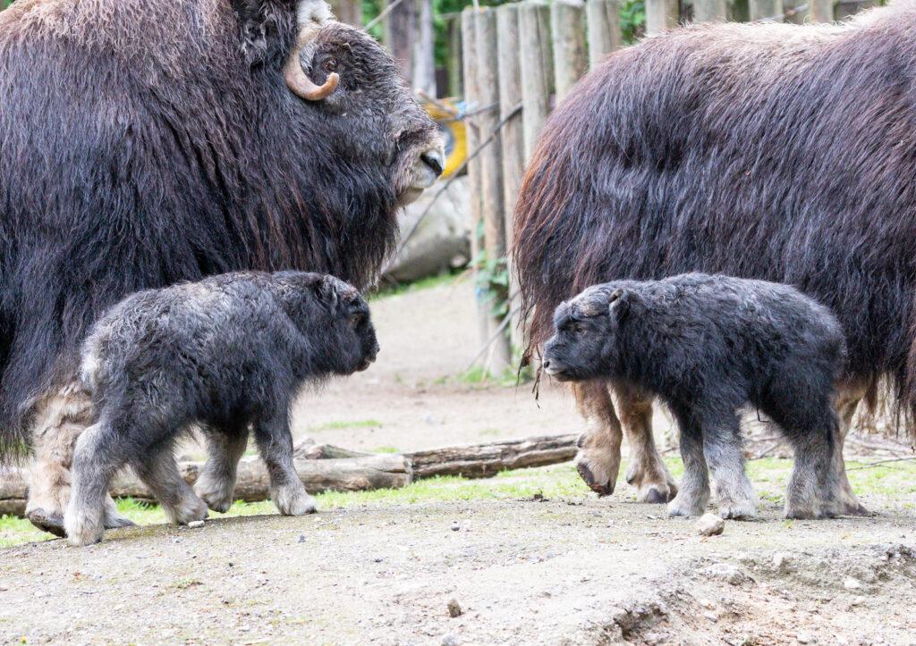 Zwei Moschusochsen im Kölner Zoo geboren