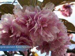 Impressionen von Kirschblüten